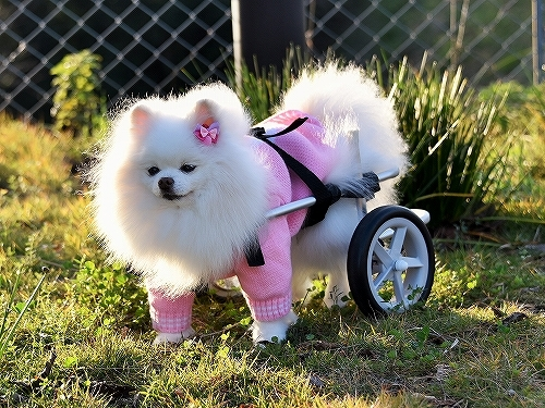 車椅子×ポメラニアン_d0360206_23142472.jpg