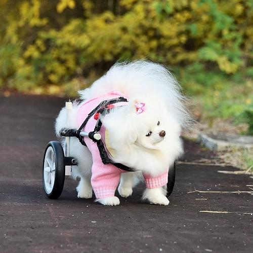 車椅子×ポメラニアン_d0360206_23142873.jpg