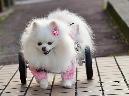車椅子×ポメラニアン_d0360206_23143217.jpg