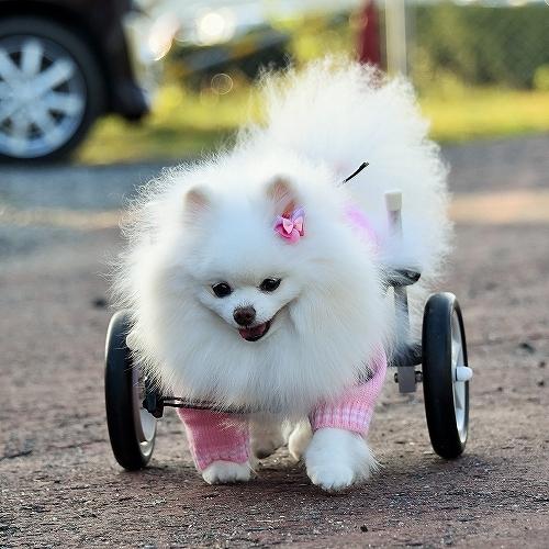 車椅子×ポメラニアン_d0360206_23143751.jpg