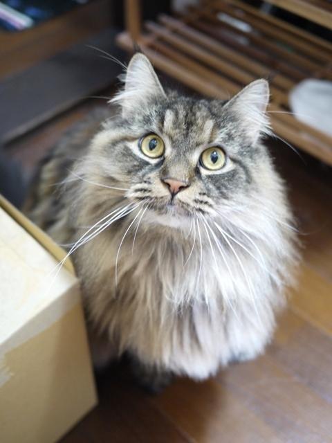 猫のお留守番 マヤちゃん編。_a0143140_22091089.jpg