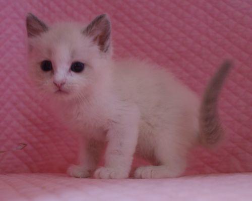 ラグドール子猫 バイカラー男の子 家族募集_e0033609_00040229.jpg