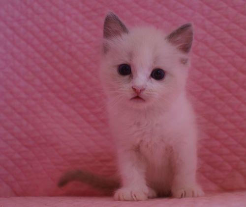 ラグドール子猫 バイカラー男の子 家族募集_e0033609_00041440.jpg
