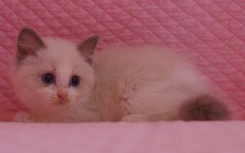 ラグドール子猫 バイカラー男の子 家族募集_e0033609_00065782.jpg
