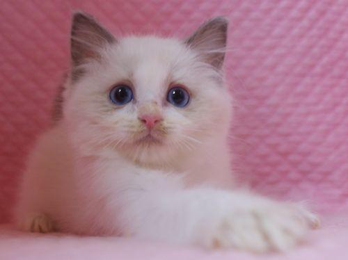 ラグドール子猫 バイカラー男の子 家族募集_e0033609_00071979.jpg