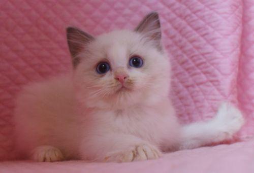 ラグドール子猫 バイカラー男の子 家族募集_e0033609_00072733.jpg