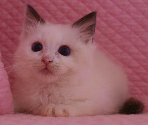 ラグドール子猫 バイカラー男の子 家族募集_e0033609_00084343.jpg
