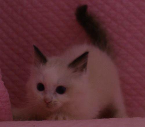 ラグドール子猫 バイカラー男の子 家族募集_e0033609_00085098.jpg