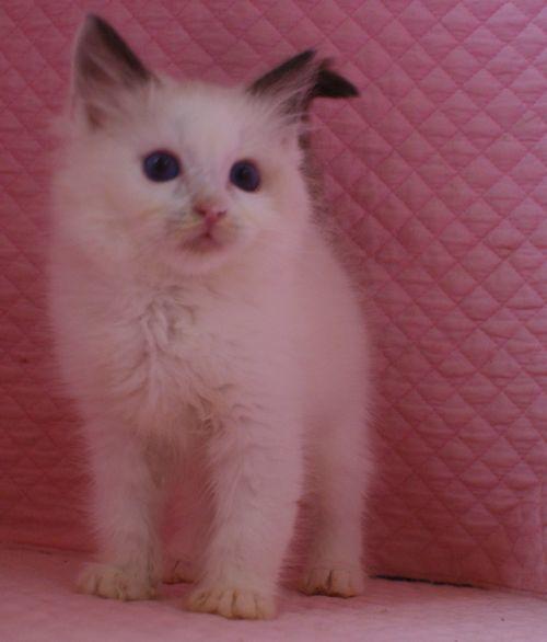 ラグドール子猫 バイカラー男の子 家族募集_e0033609_00085584.jpg