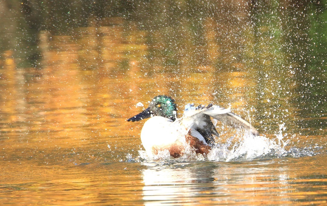 ハシビロガモの水浴び_f0364220_16543889.jpg