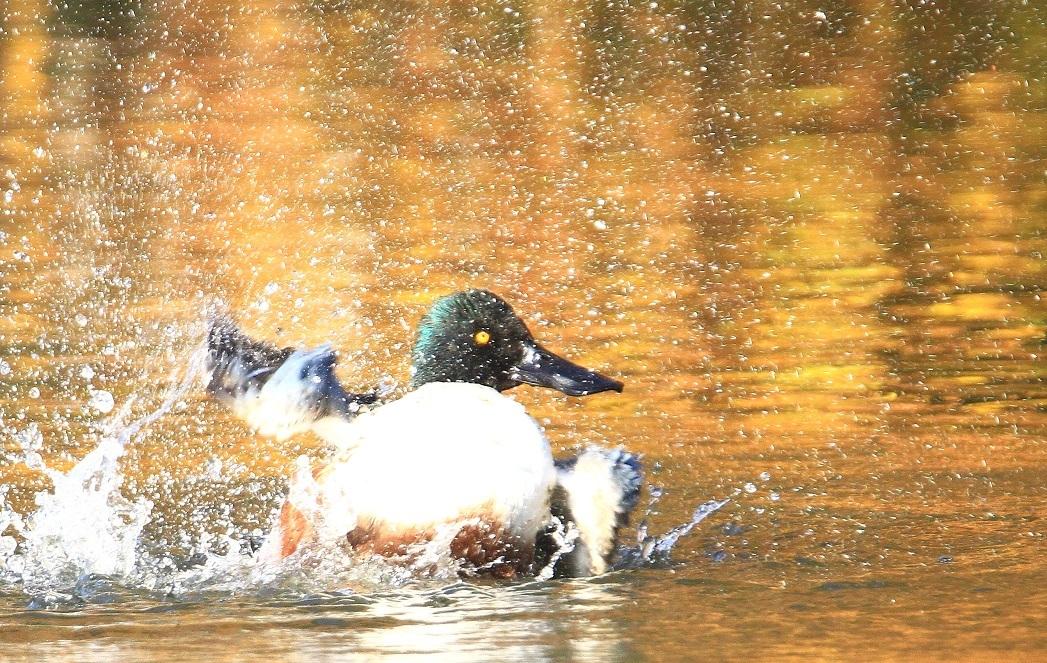 ハシビロガモの水浴び_f0364220_16550166.jpg