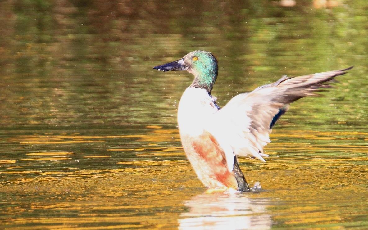 ハシビロガモの水浴び_f0364220_16555381.jpg