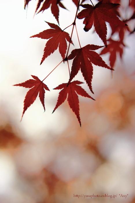赤もみじ_e0347431_14330325.jpg