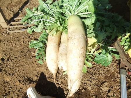 野菜の大収穫_b0137932_18245300.jpg
