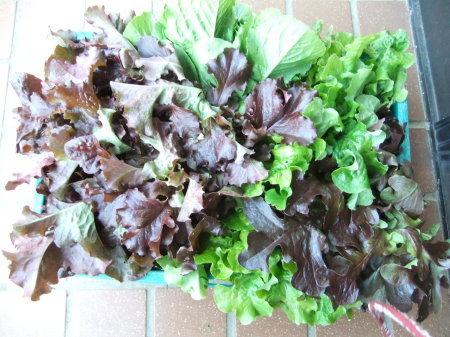 野菜の大収穫_b0137932_18261545.jpg