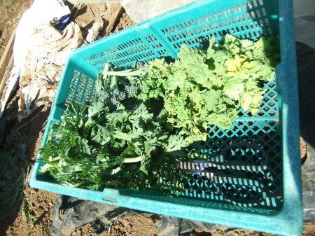 野菜の大収穫_b0137932_18274826.jpg
