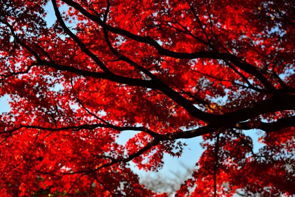 小石川植物園 紅葉撮影ワークショップ_f0050534_22343070.jpg