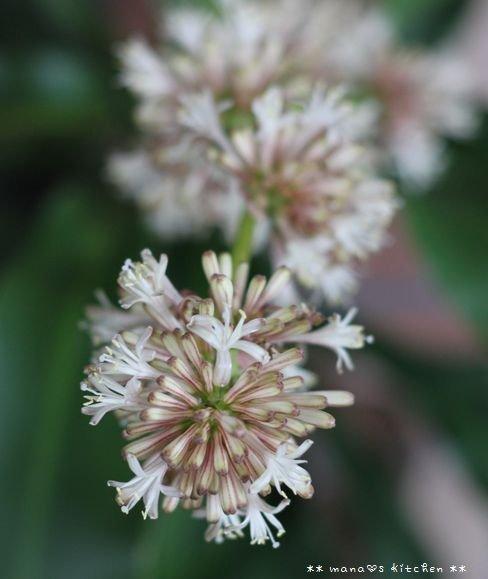 残り物ランチ ✿ 幸福の木の花が咲いたよ(・∀・)♪_c0139375_14225597.jpg