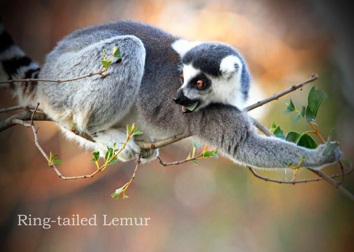 ワオキツネザル:Ring-tailed Lemur _b0249597_10113550.jpg