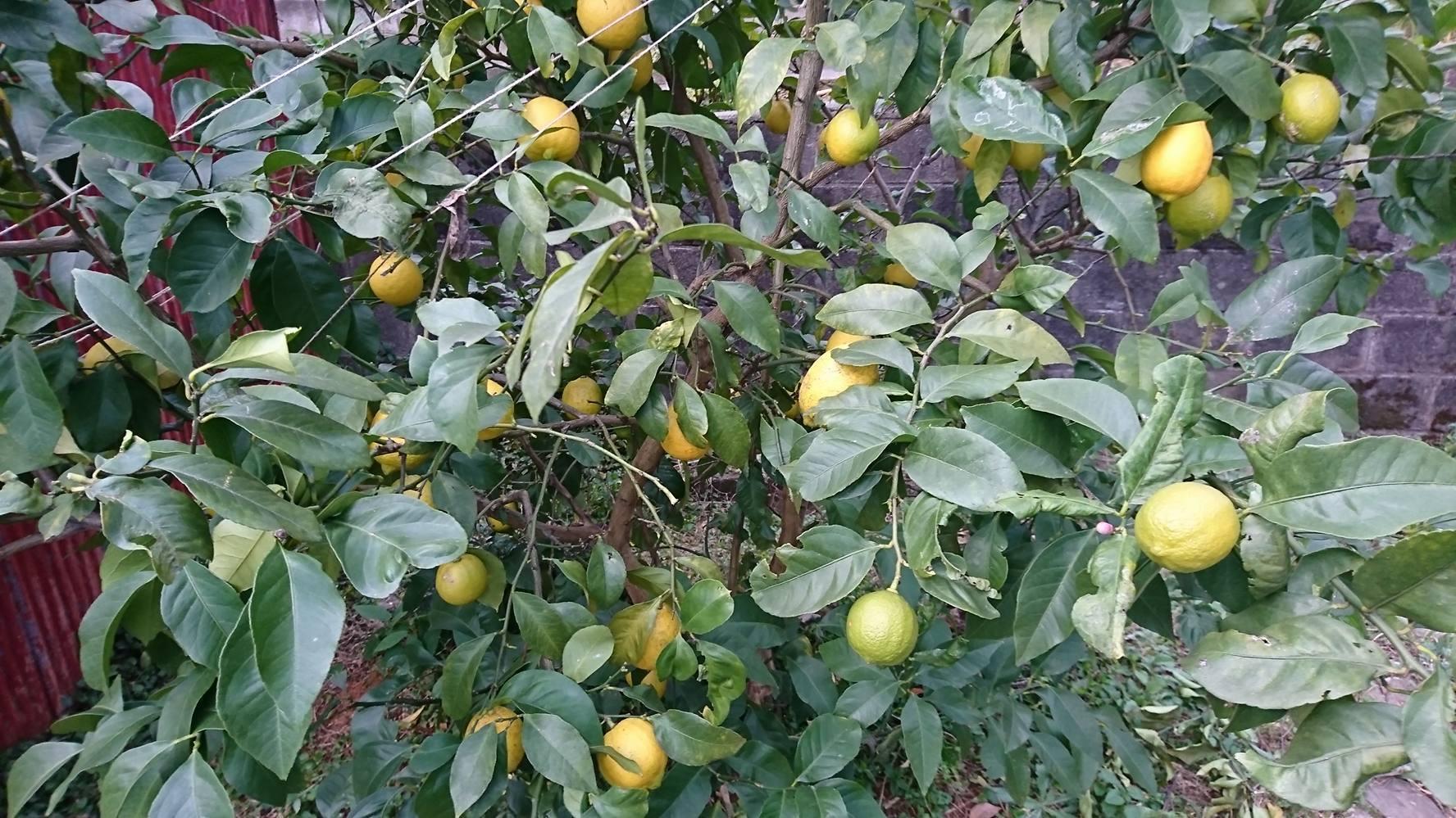 年末、年始のお知らせ、お歳暮作り、レモン、柚子、かぼす、冬の仕込み。_a0125419_08231961.jpg