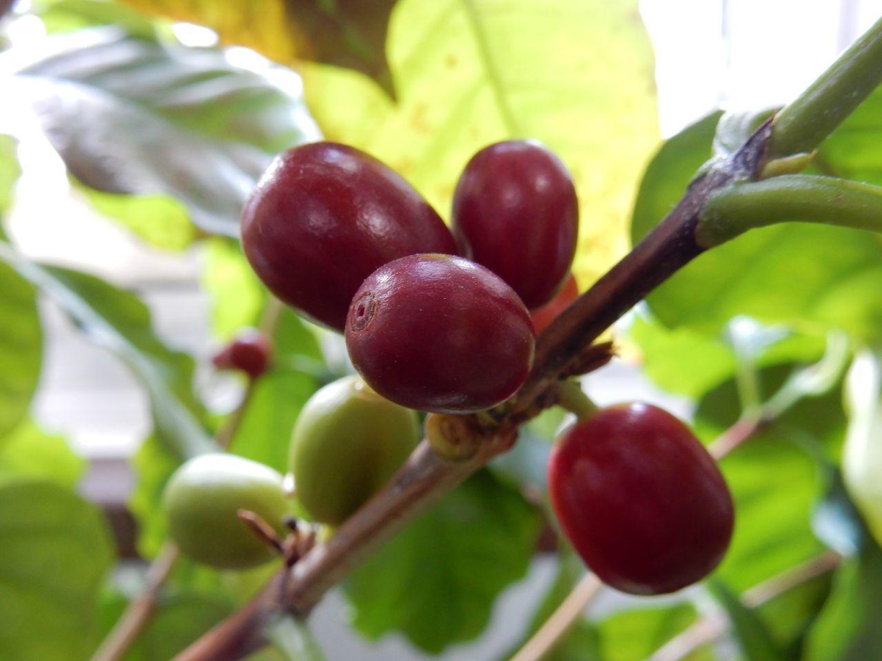 赤い一日(コーヒー収穫)_c0025115_21540873.jpg