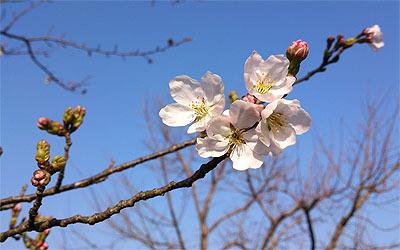『桜・咲くころ』を弾いてみました!_c0137404_19154409.jpg