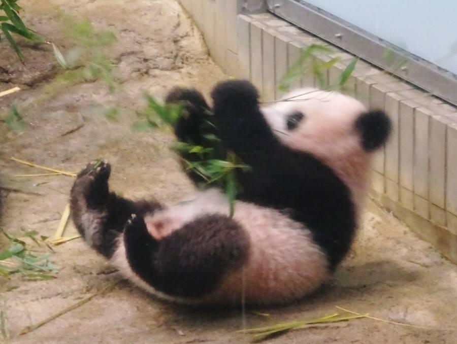 ジャイアントパンダ「シャンシャン」公開を祝う会_f0059673_22471456.jpg
