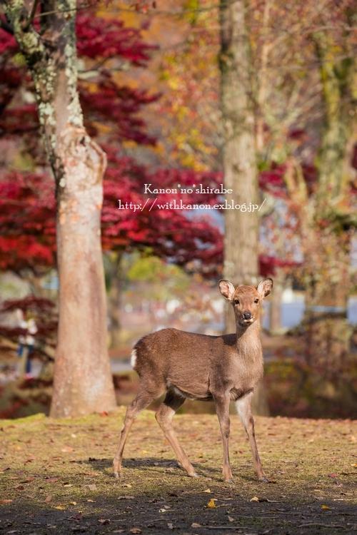 奈良公園2017③_d0148187_18345903.jpg