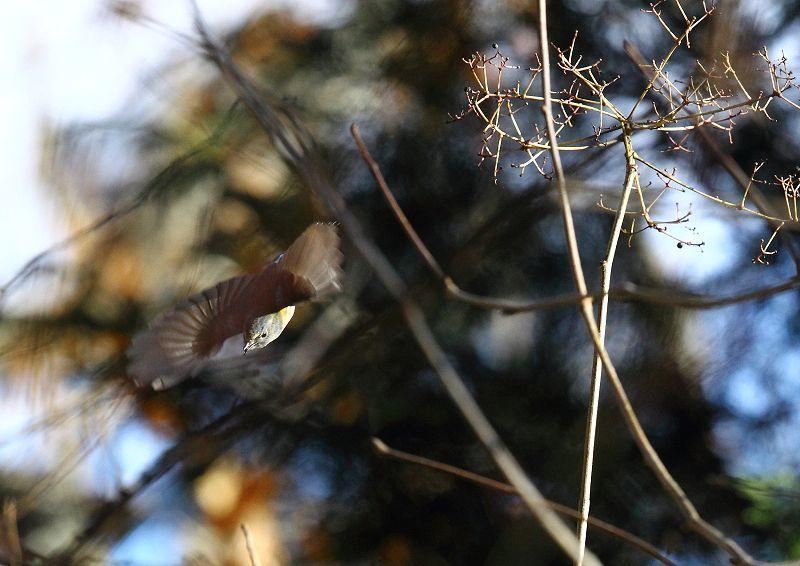 ルリビタキは、北海道、本州、四国で繁殖し、本州中部以南で越冬する_b0346933_06195525.jpg