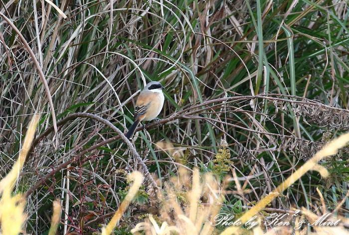 帰省の最後の鳥さんは「タカサゴモズ」さんでした(*^^*)_e0218518_12584948.jpg