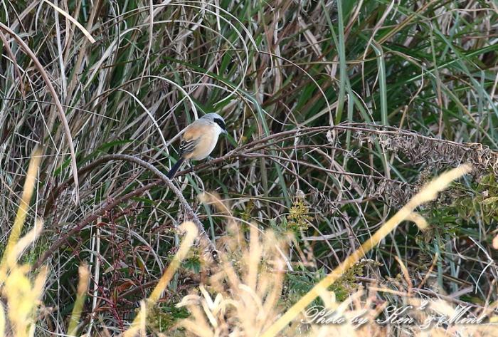 帰省の最後の鳥さんは「タカサゴモズ」さんでした(*^^*)_e0218518_12591160.jpg