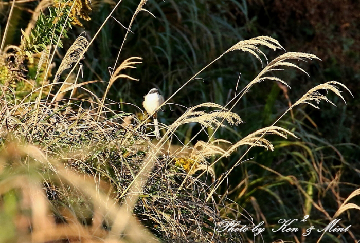 帰省の最後の鳥さんは「タカサゴモズ」さんでした(*^^*)_e0218518_12594974.jpg