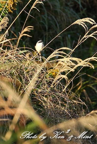 帰省の最後の鳥さんは「タカサゴモズ」さんでした(*^^*)_e0218518_13001627.jpg