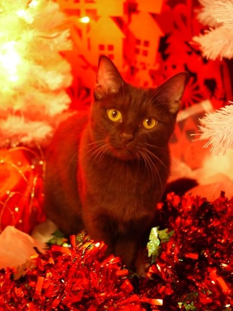 はじめてのクリスマス猫 あんしゃぁりぃ編。_a0143140_23501085.jpg