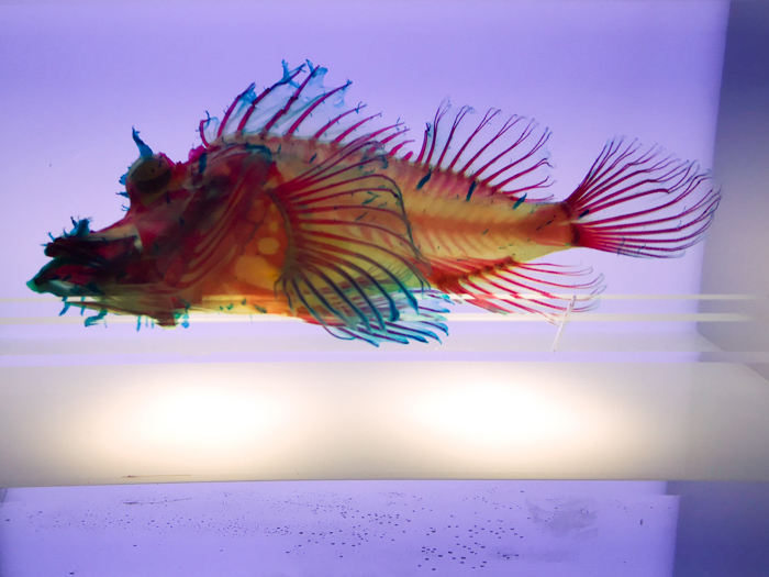 沼津港深海水族館 また行ってきた その6 骨格標本編 前_d0068664_23333328.jpg
