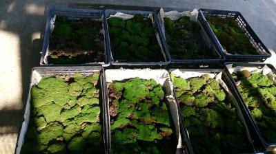 温室通信 正月用盆栽を制作しました!_d0338682_13493969.jpg