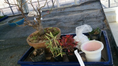 温室通信 正月用盆栽を制作しました!_d0338682_13511839.jpg