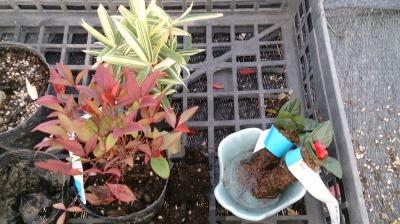 温室通信 正月用盆栽を制作しました!_d0338682_13514301.jpg