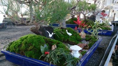 温室通信 正月用盆栽を制作しました!_d0338682_13534526.jpg
