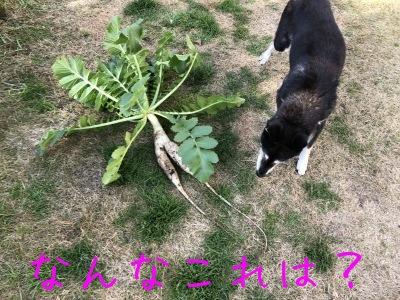 お庭の大根星人で千枚漬け_f0369014_11045507.jpg