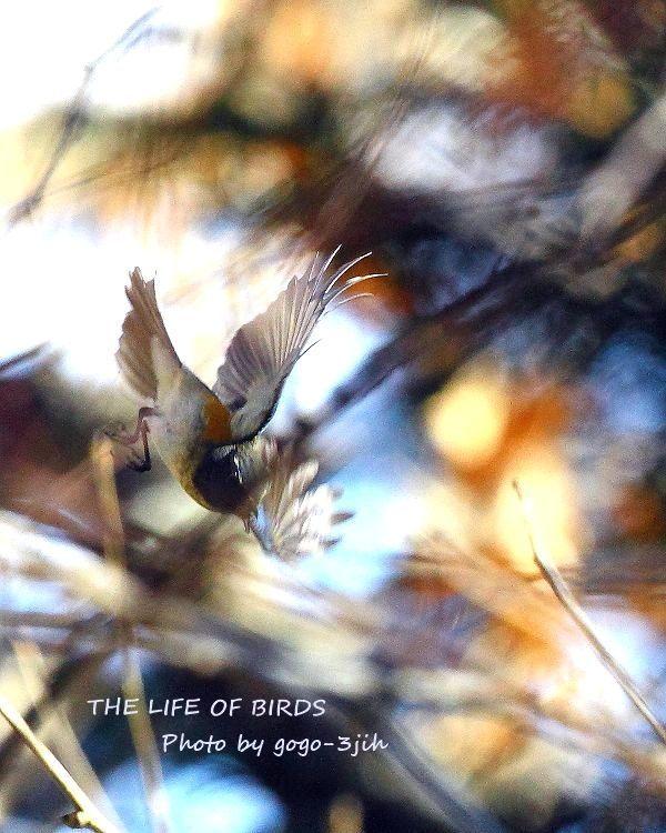 華麗で可憐な青い鳥、ルリビタキ_b0346933_08351138.jpg