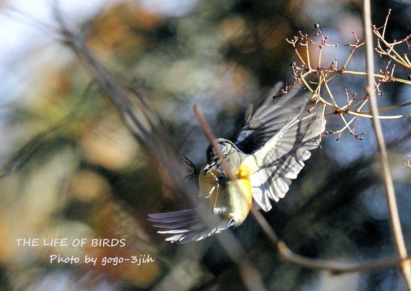 華麗で可憐な青い鳥、ルリビタキ_b0346933_08351657.jpg