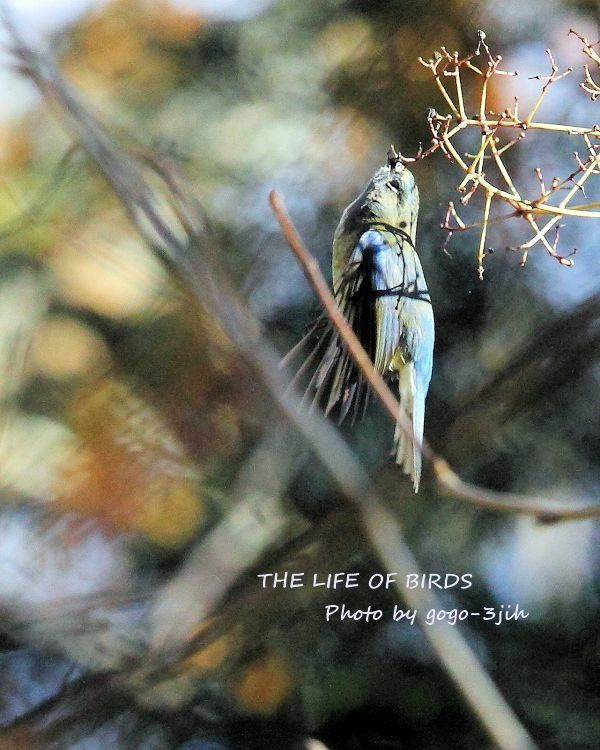 華麗で可憐な青い鳥、ルリビタキ_b0346933_08352176.jpg