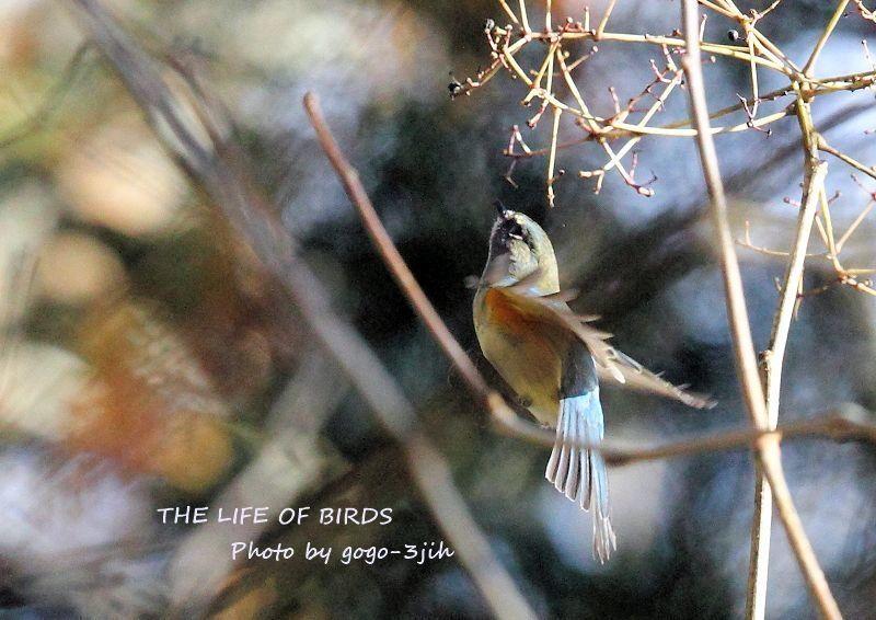 華麗で可憐な青い鳥、ルリビタキ_b0346933_08352554.jpg