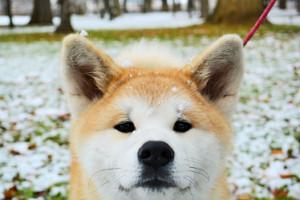 動物界は人間界より先行する!?:秋田犬の末路が日本人の末路を彷彿させる!?_a0348309_11235048.jpg