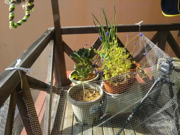 鉢植えは2階に引っ越した(自宅菜園)_c0330749_12504348.jpg