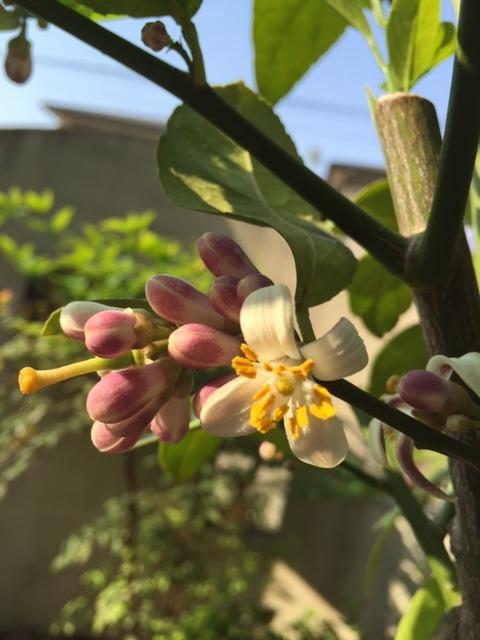 レモンの花・・・_b0187479_8422636.jpg