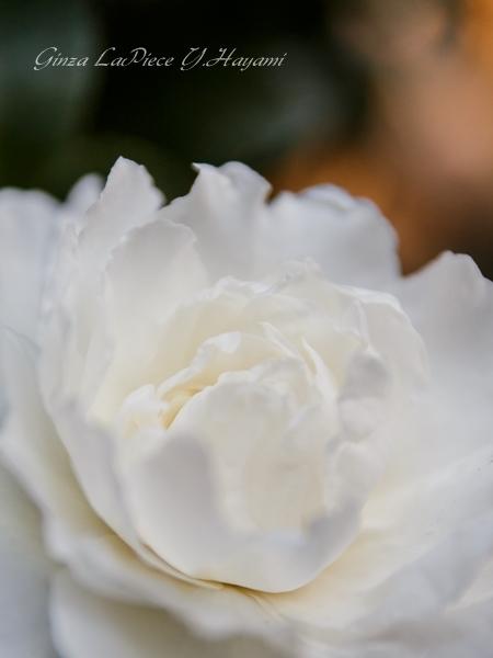 花のある風景 白のサザンカ_b0133053_02493500.jpg