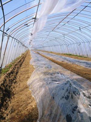 """スナップエンドウ「シャキ甘""""菊光""""」 一次の芽カギ作業終了!今年も湿度管理もばっちりです(2019)_a0254656_17083476.jpg"""
