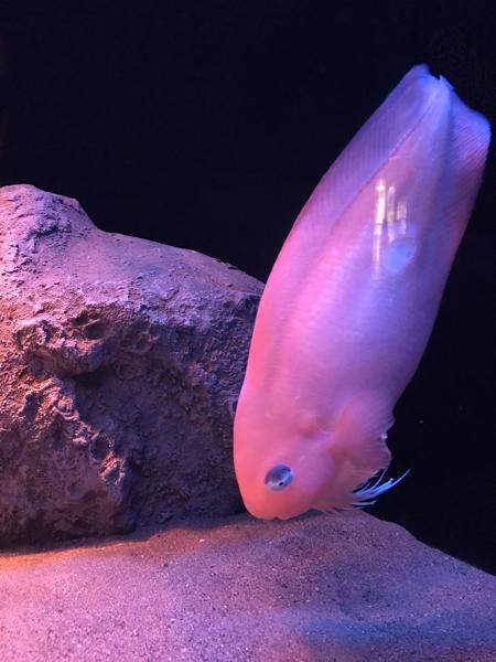 沼津港深海水族館 また行ってきた その9 2017年オーラス_d0068664_20522744.jpg